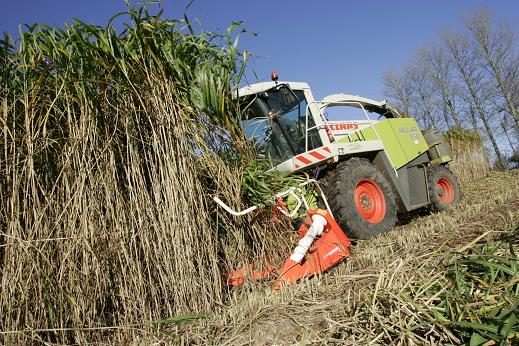 Harvesting miscanthus canes